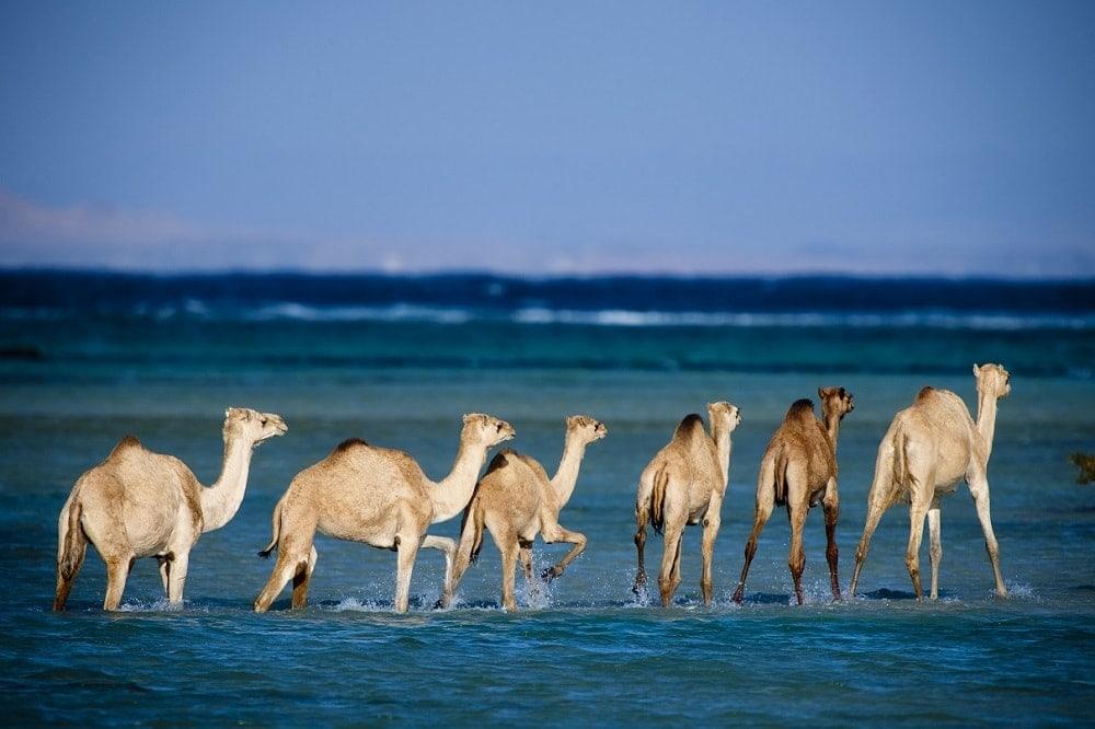 Die Ababda-Beduinen zogen früher mit ihren Karawanen durch die Wüste von Wadi el Gemal.