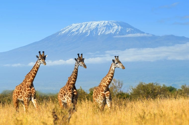 Giraffen in Kenia