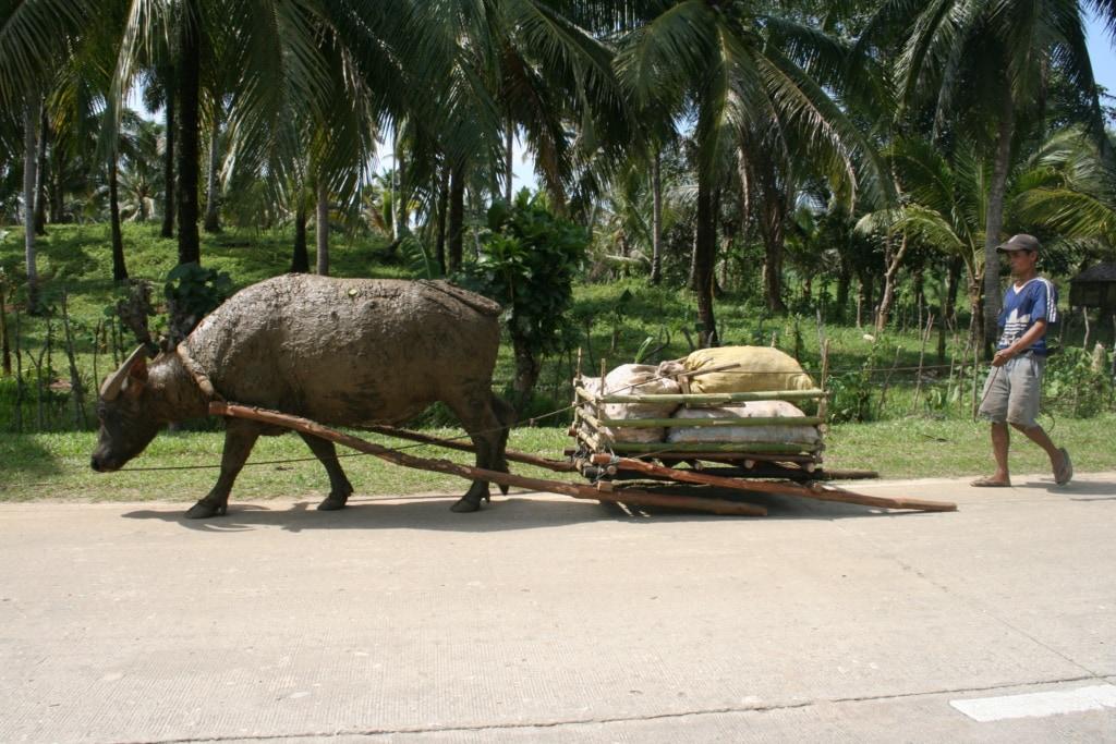 Tierischer Verkehr auf den Philippinen ist keine Seltenheit.