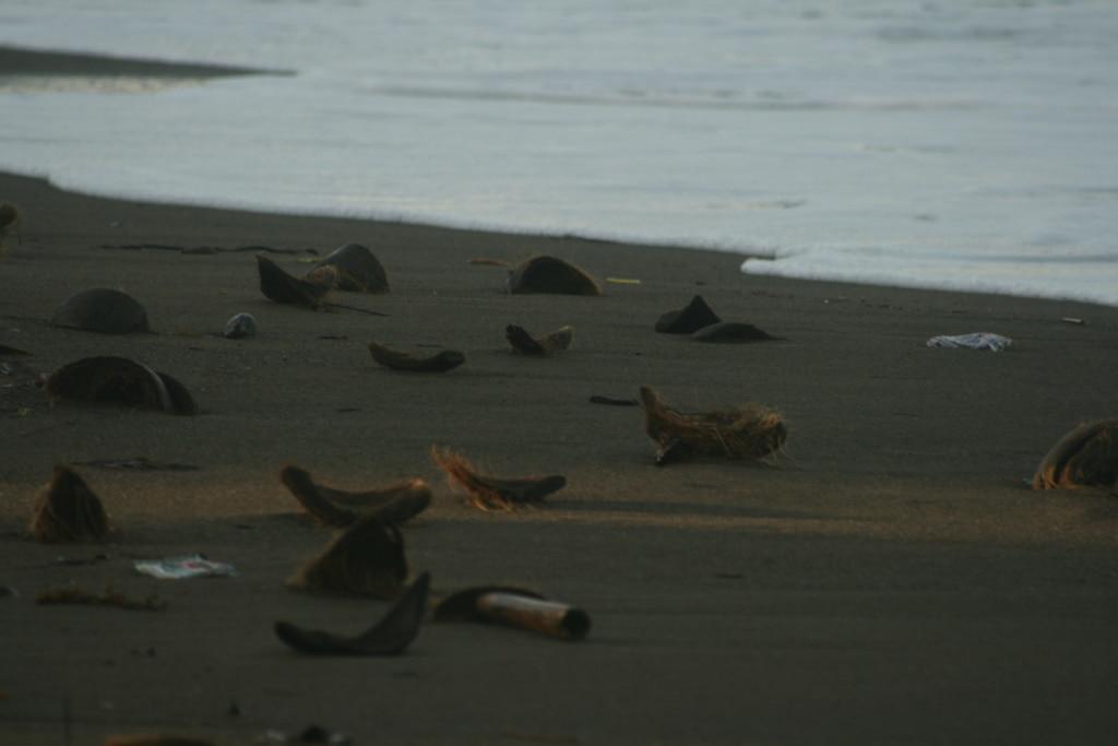 Auf den Philippinen teilt man sich die einsamen Traumstrände (noch) mit angespülten Kokosnüssen.
