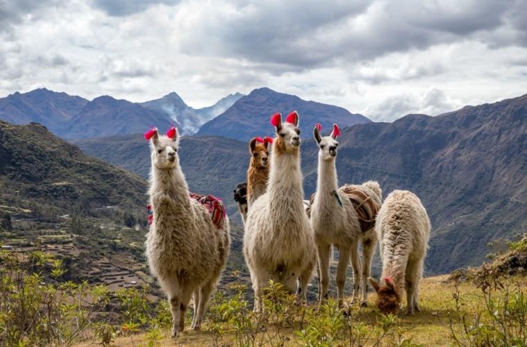 Mehrere Lamas auf dem Lares Trek in Peru