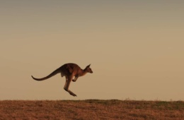 Känguru springend in weiter PrärieP