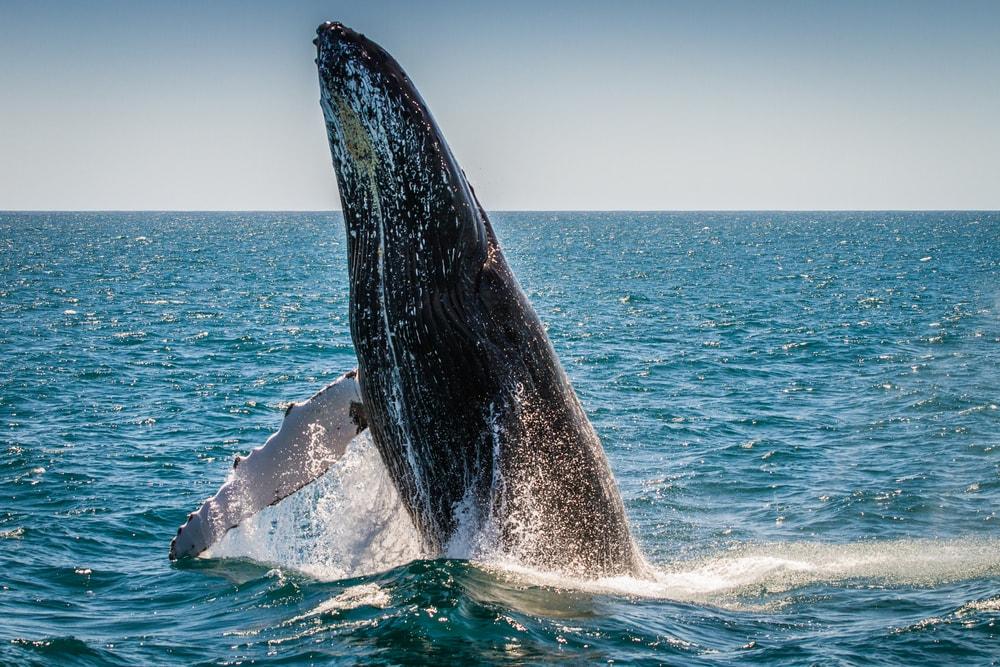 Großer Wal der aus dem Wasser springt