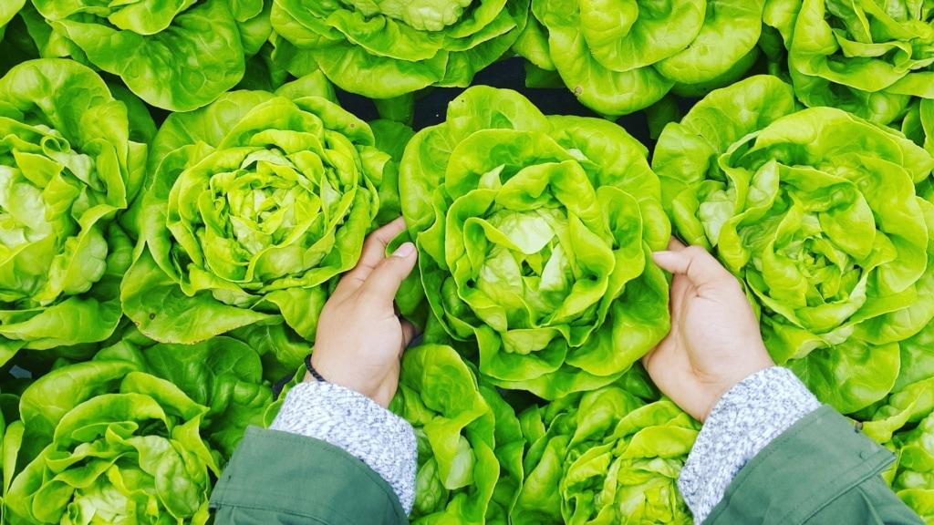 Hand greift nach einem Salatkopf