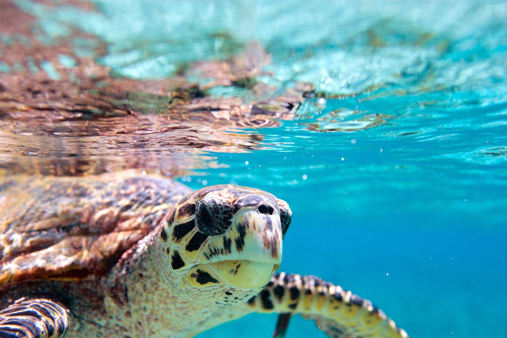 Nahaufnahme einer Echten Karettschildkröte im Ozean vor den Seychellen