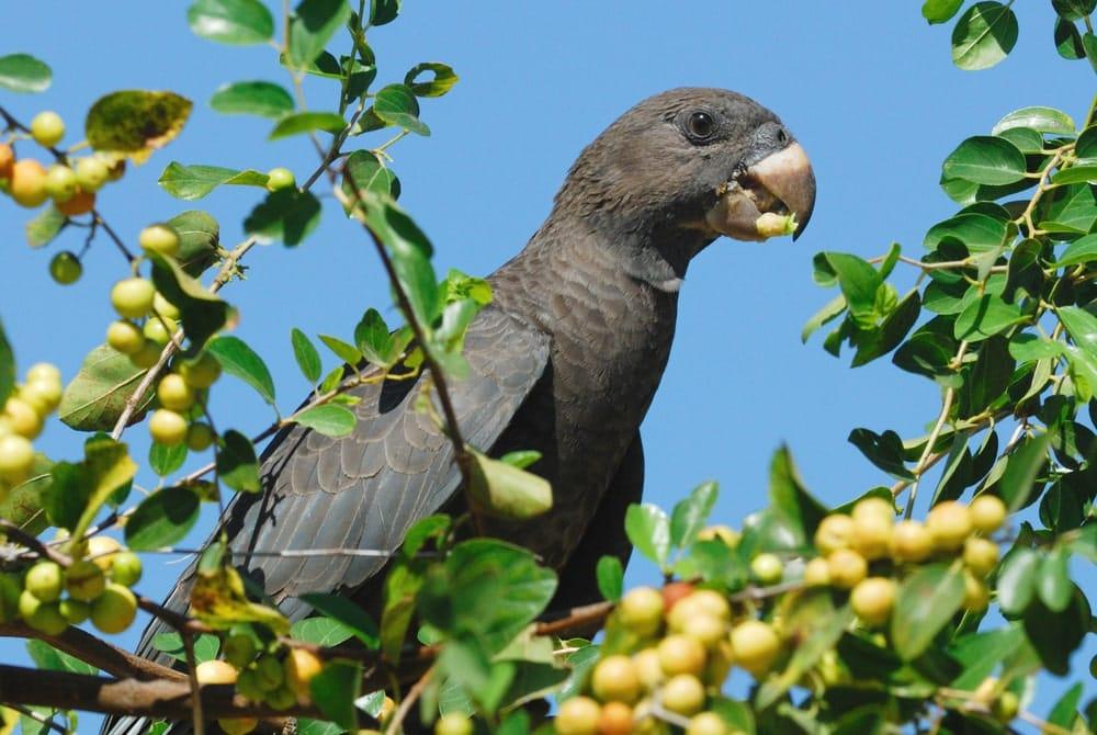 Seychellen-Vasapapagei