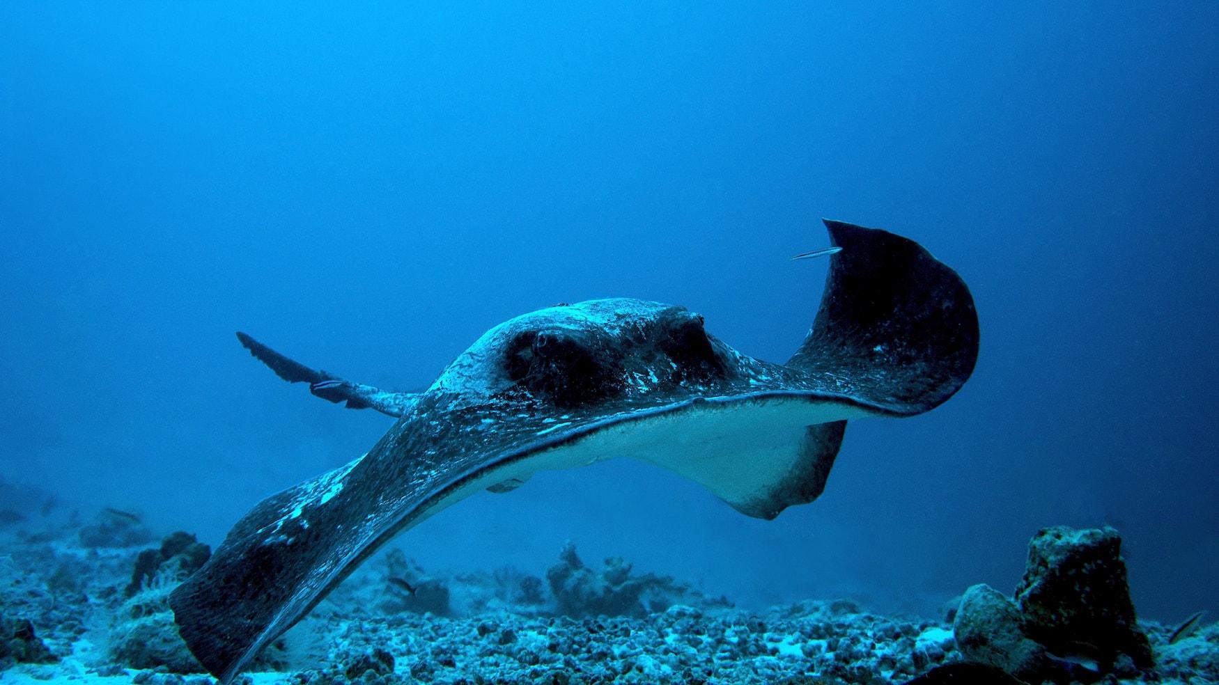 Der Stachelrochen gehört zu den eindrucksvollen Tieren auf den Seychellen