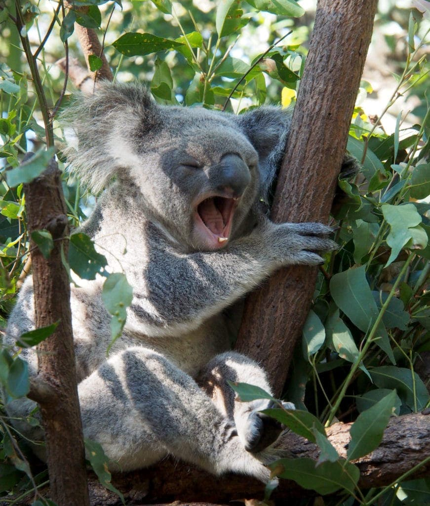 süßer Koala in Queensland