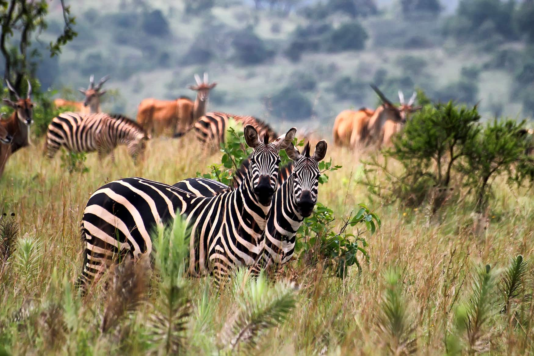 Zebras in Nationalpark iN Ruanda