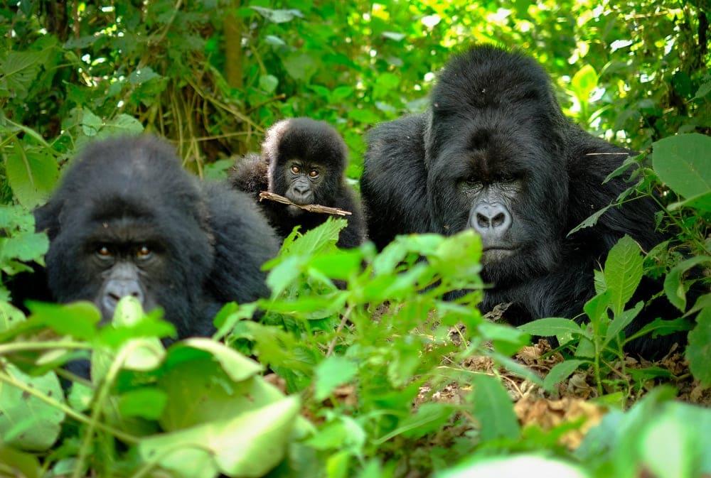 Gorillafamilie in Ruanda