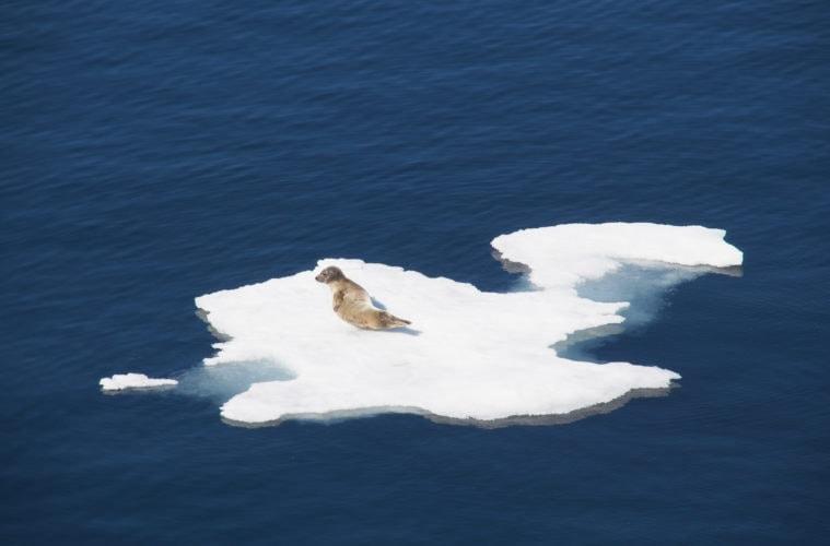 Ein häufiger Anblick in der kanadischen Arktis: eine Robbe die sich von den Strapazen auf einer Eisscholle ausruht.