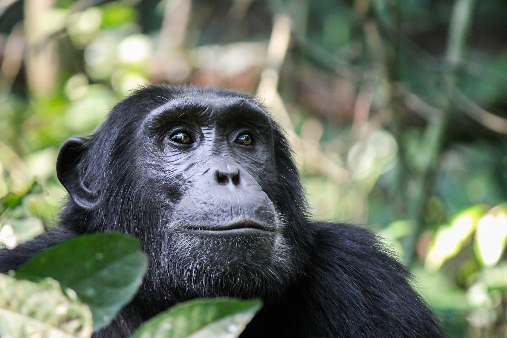 Schimpanse in Ruanda