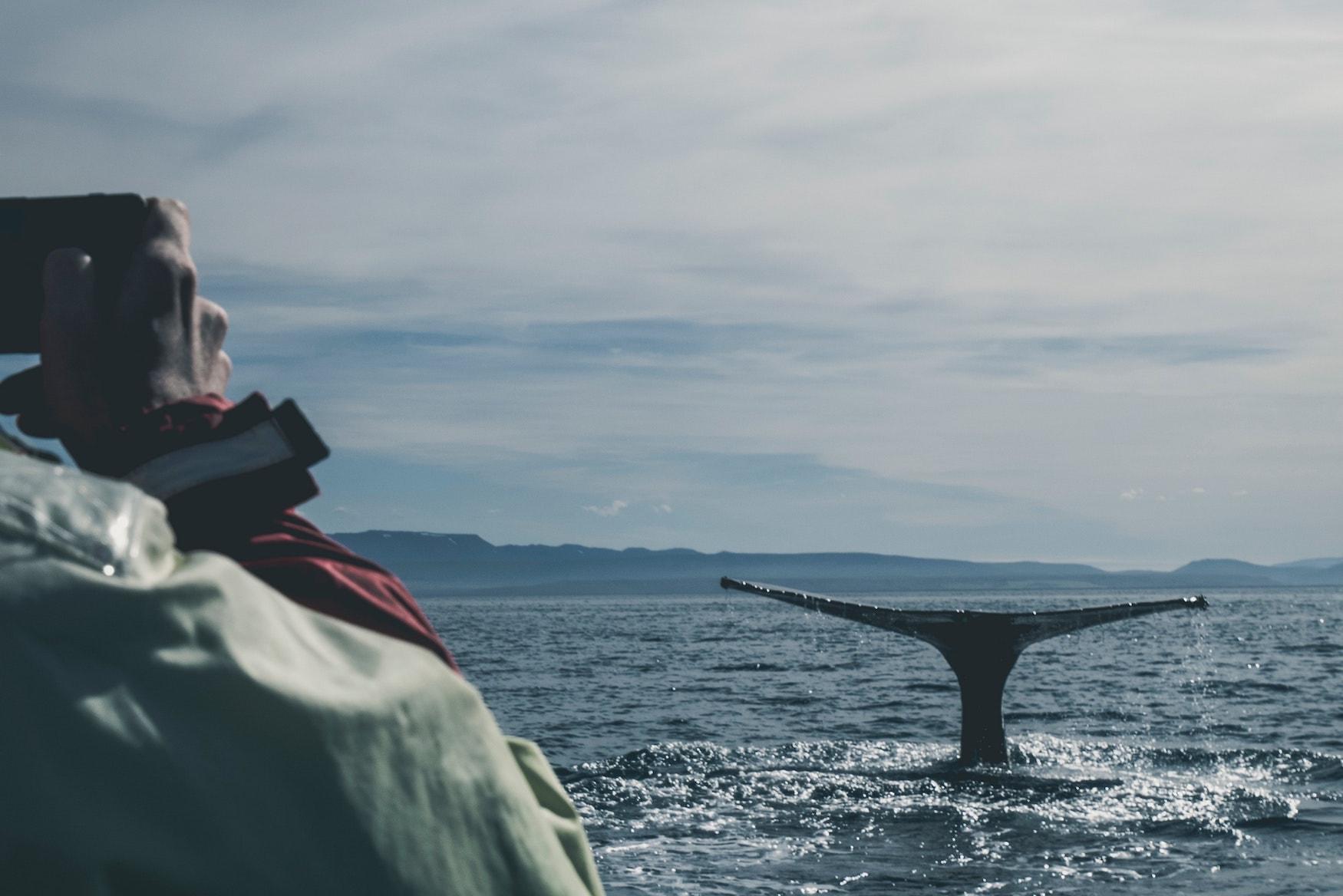 Walflosse guckt aus dem Wasser. Menschen fahren mit Boot über Ozean um Wale zu beobachten