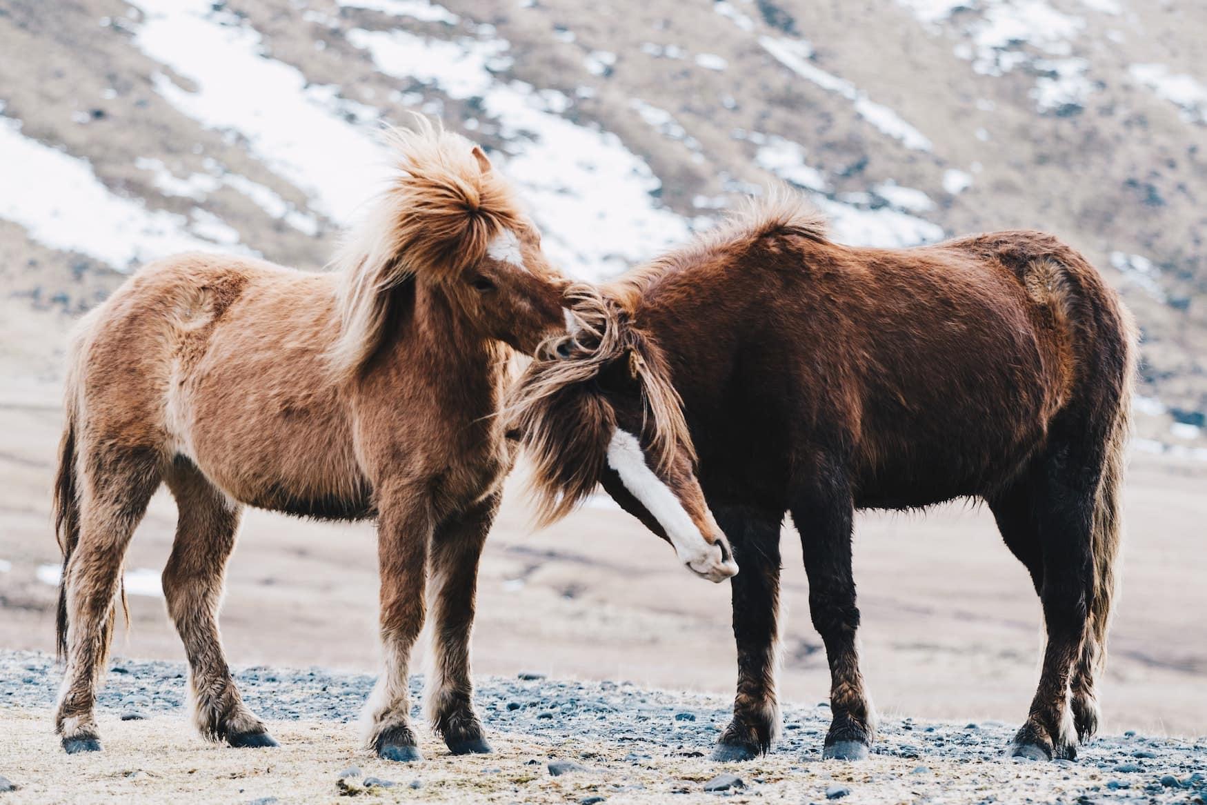 Islandpferde grasen in Landschaft auf Island