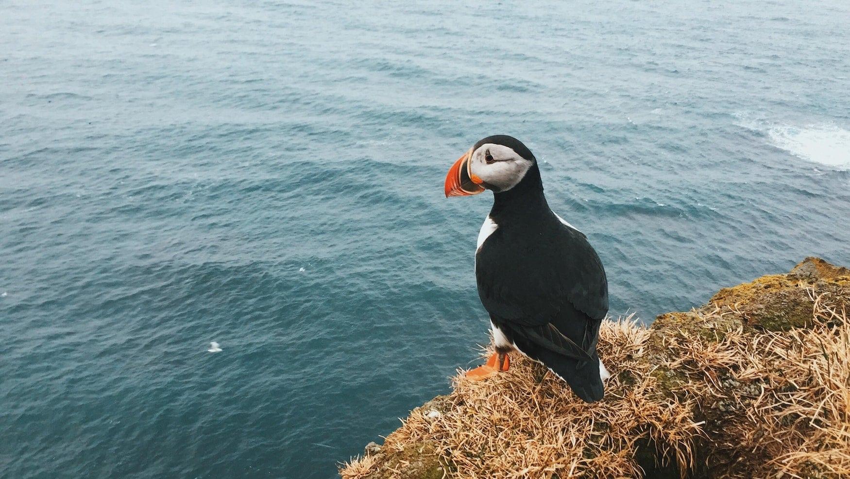 Puffin steht auf Küste vor isländischem Ozean