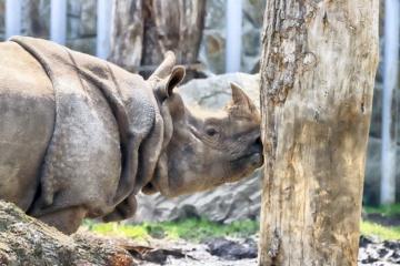 Rhinozeros im Breslauer Zoo
