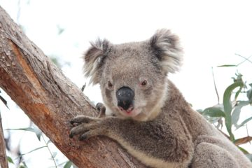 Wild Koala Day: Koala Clancy im You Yang Regionalpark