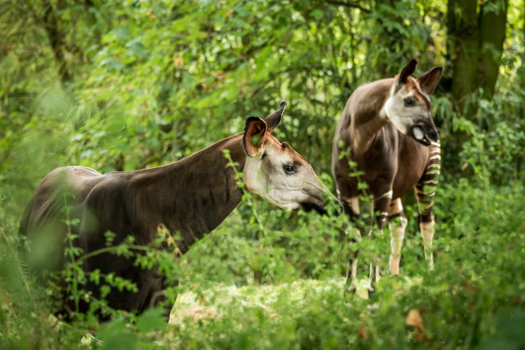 Zwei Okapis im Breslauer Zoo
