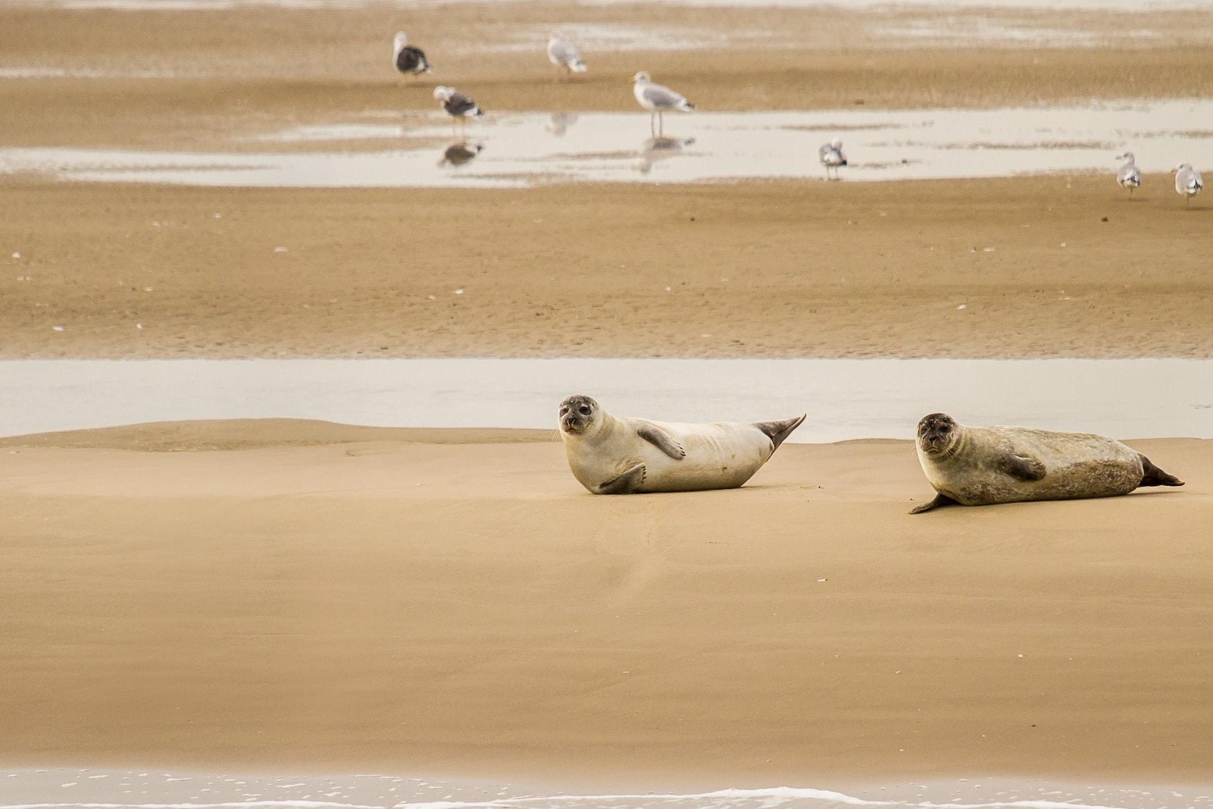 Seehunde auf einer Robbenbank vor Büsum in der Nordsee