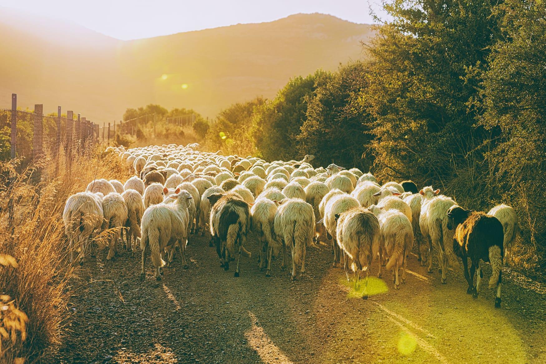 Schafsherde auf Sizilien
