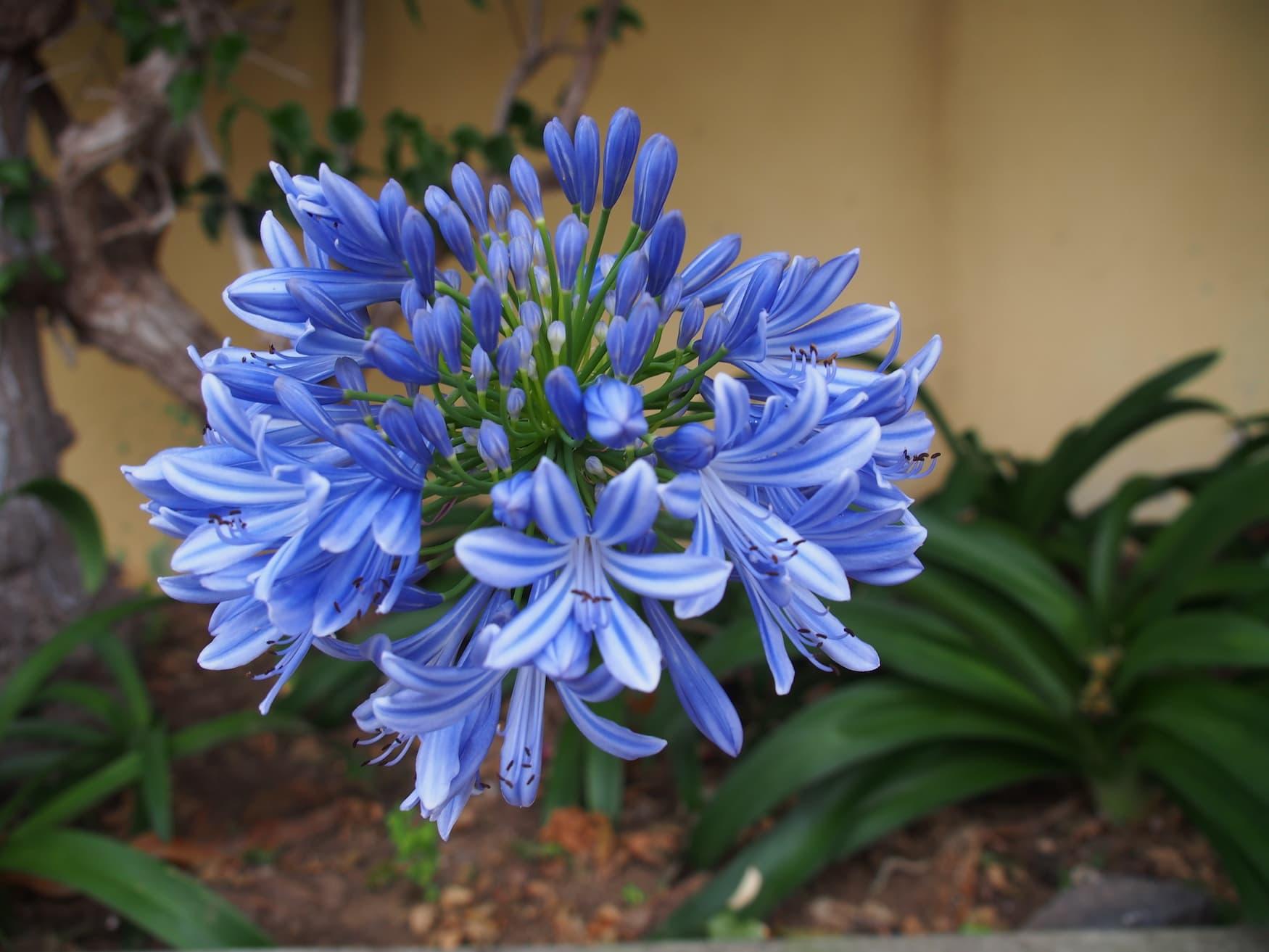 Blume auf Porto Santo