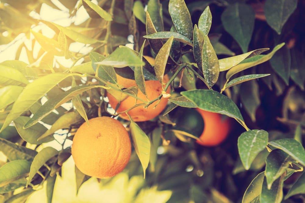 Orangen hängen an einem Baum