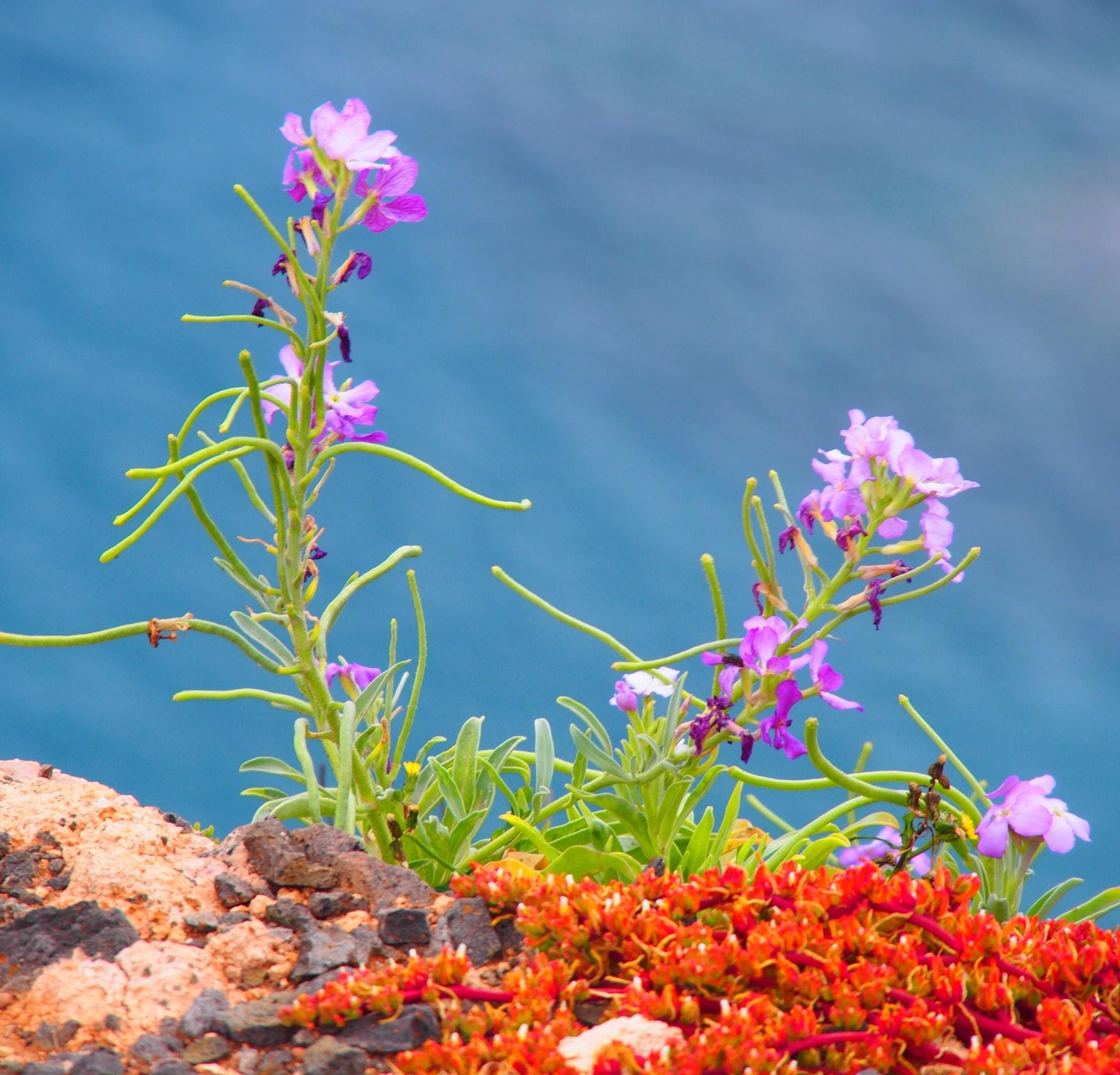 Pflanzen auf Porto Santo