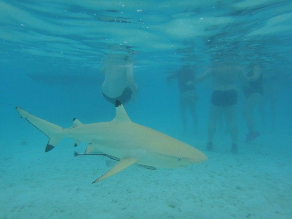 Ein Bad mit Haien vor Moorea - Südsee