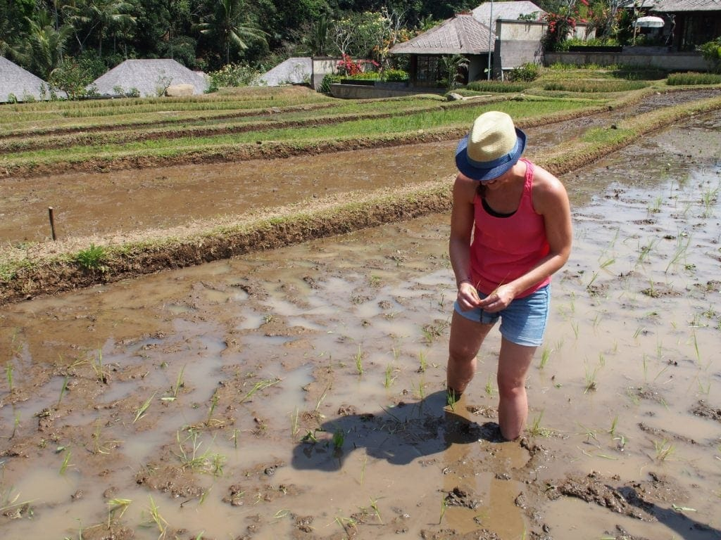 Wer sät darf auch Ernten - in sechs Monaten ist der Reis fertig. Mandapa, a Ritz Carlton Reserve,Bali
