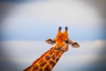Portrait einer Giraffe in Südafrika