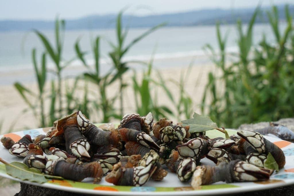 Teure Krebstiere genannt Percebes in Galicien