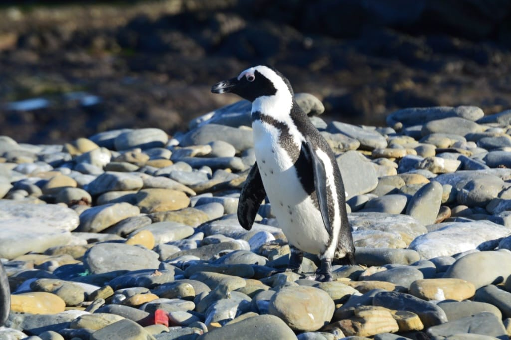 Pinguin auf Robben Island, Südafrika