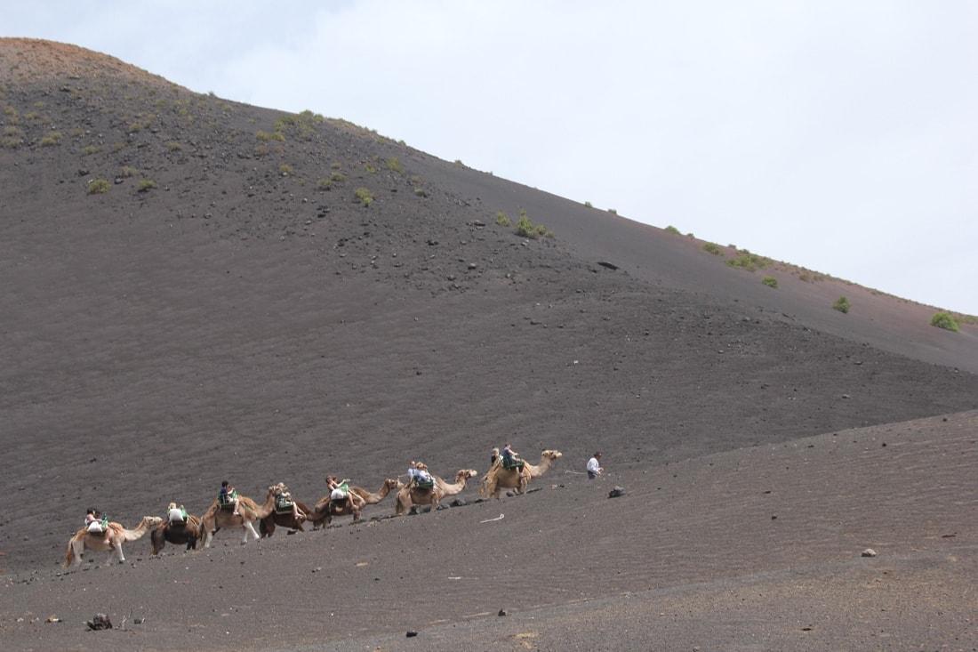 Kamele im Timanfaya Nationalpark auf Lanzarote