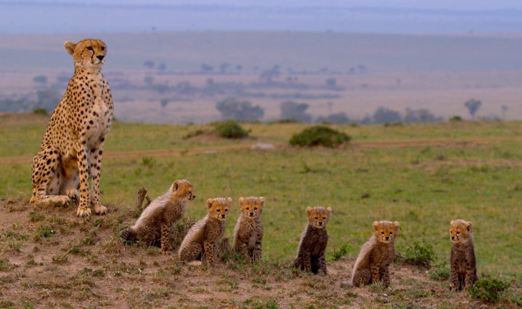 Gepardenfamilie Maleika