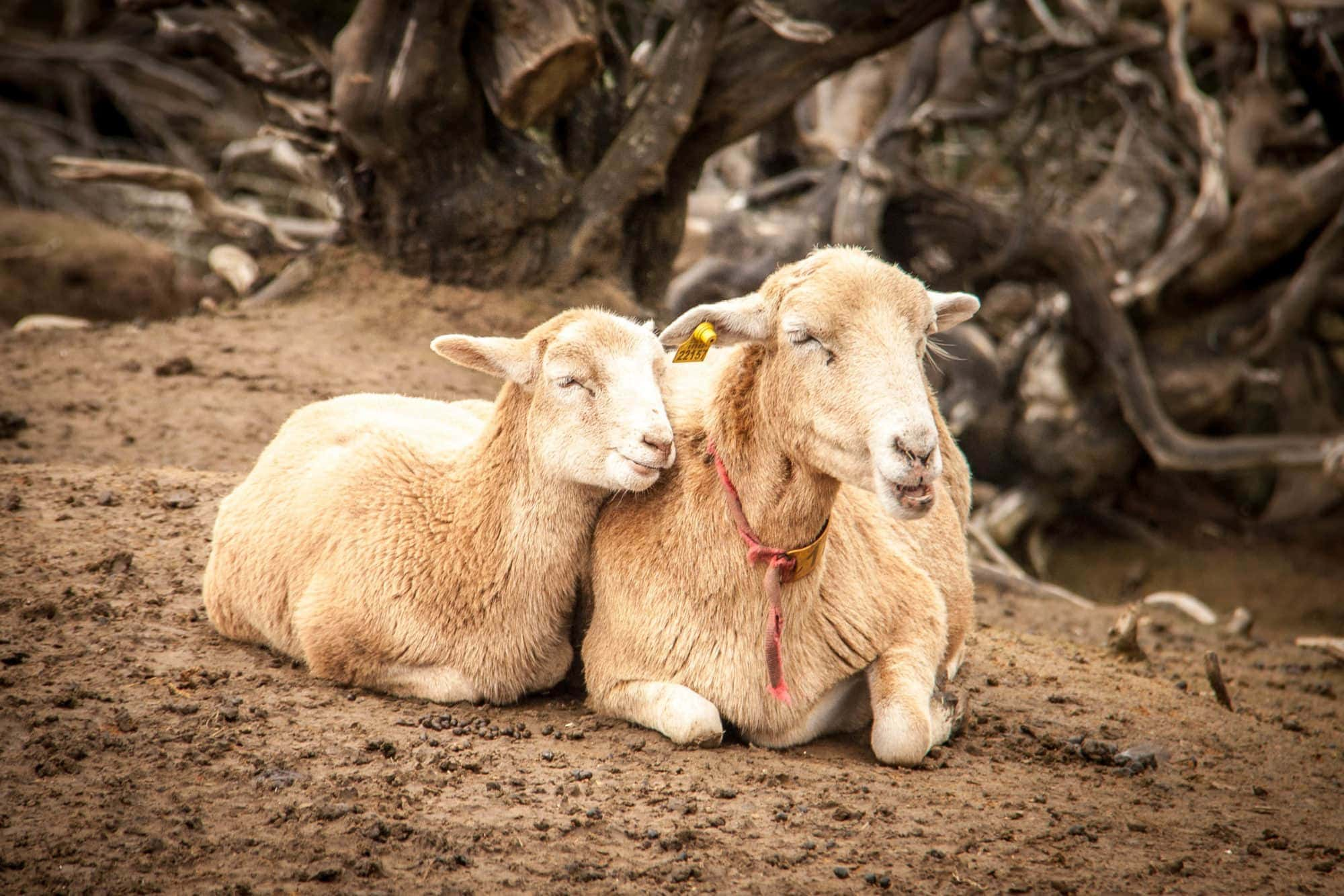 Ziegen-Herde im Landesinneren Teneriffas