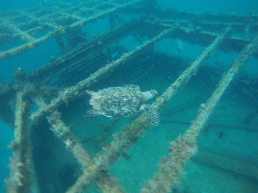 Eine Schildkröte nähert sich dem Schiffswrack auf Barbados.