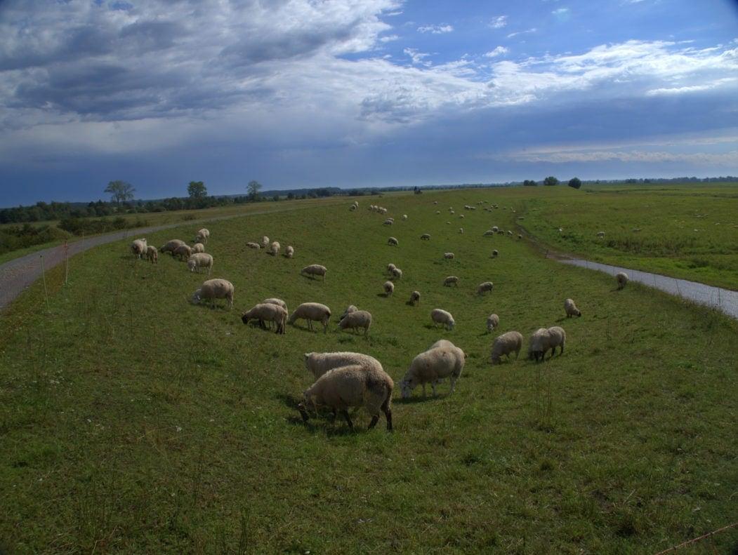 Schafe an Elbe in der Prignitz