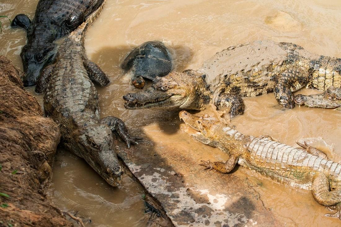 Urlaub im Dschungel in Peru: Begegnung mit Kaimanen