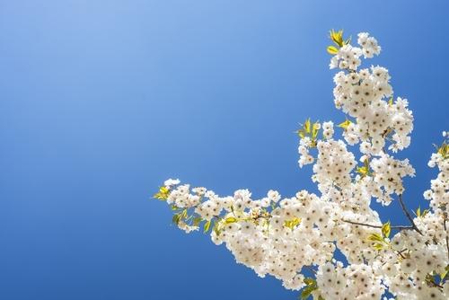 Kirschbaumblüte in Bayern