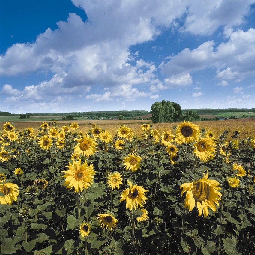Urlaub im Hunsrück: Sonnenblumenfeld