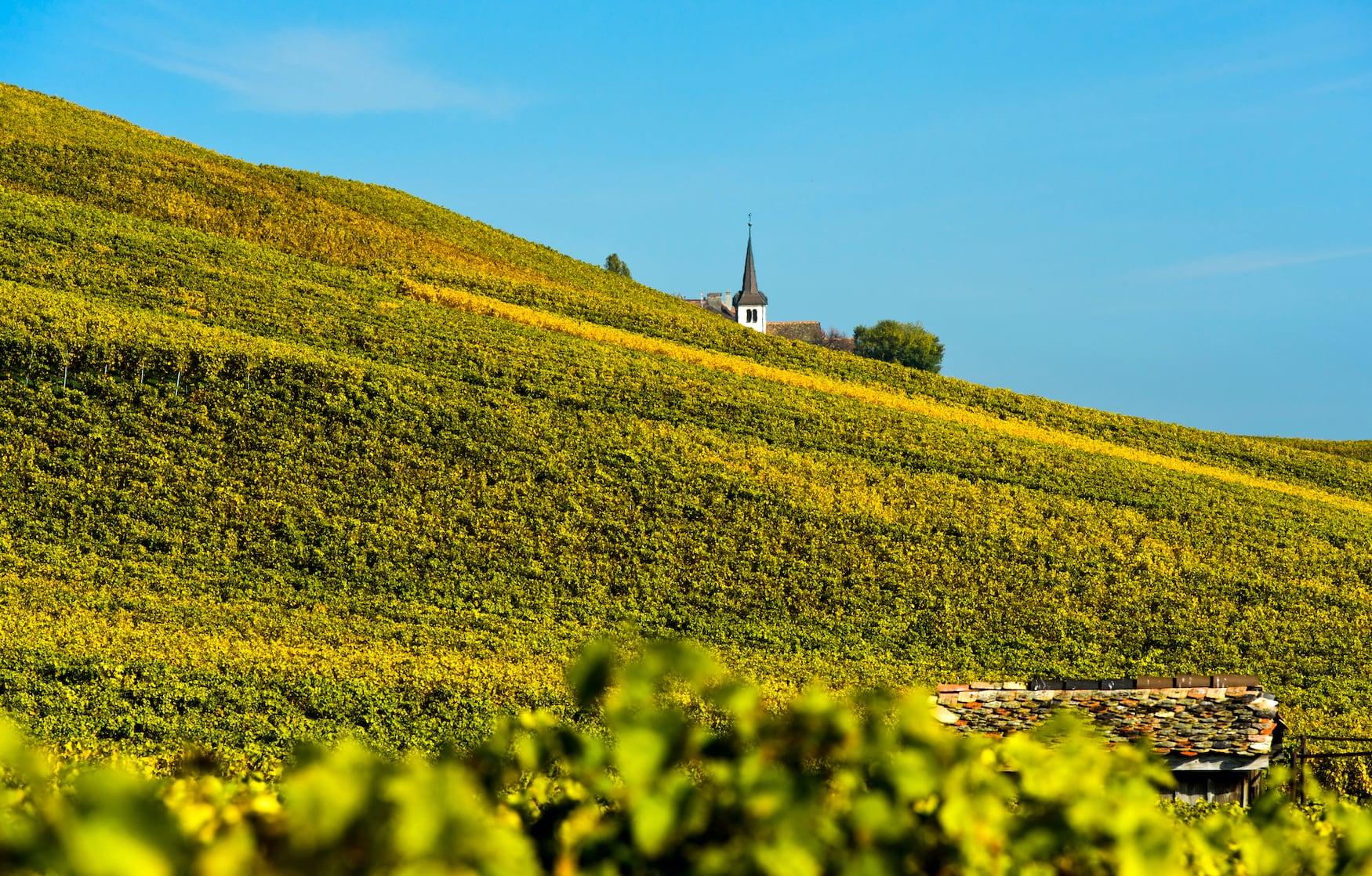 Weinberge in herbstlicher Farbe im Weinbaugebiet La Côte, dahinter Kirche des Weindorfes Fechy, Fechy, Waadt, Schweiz