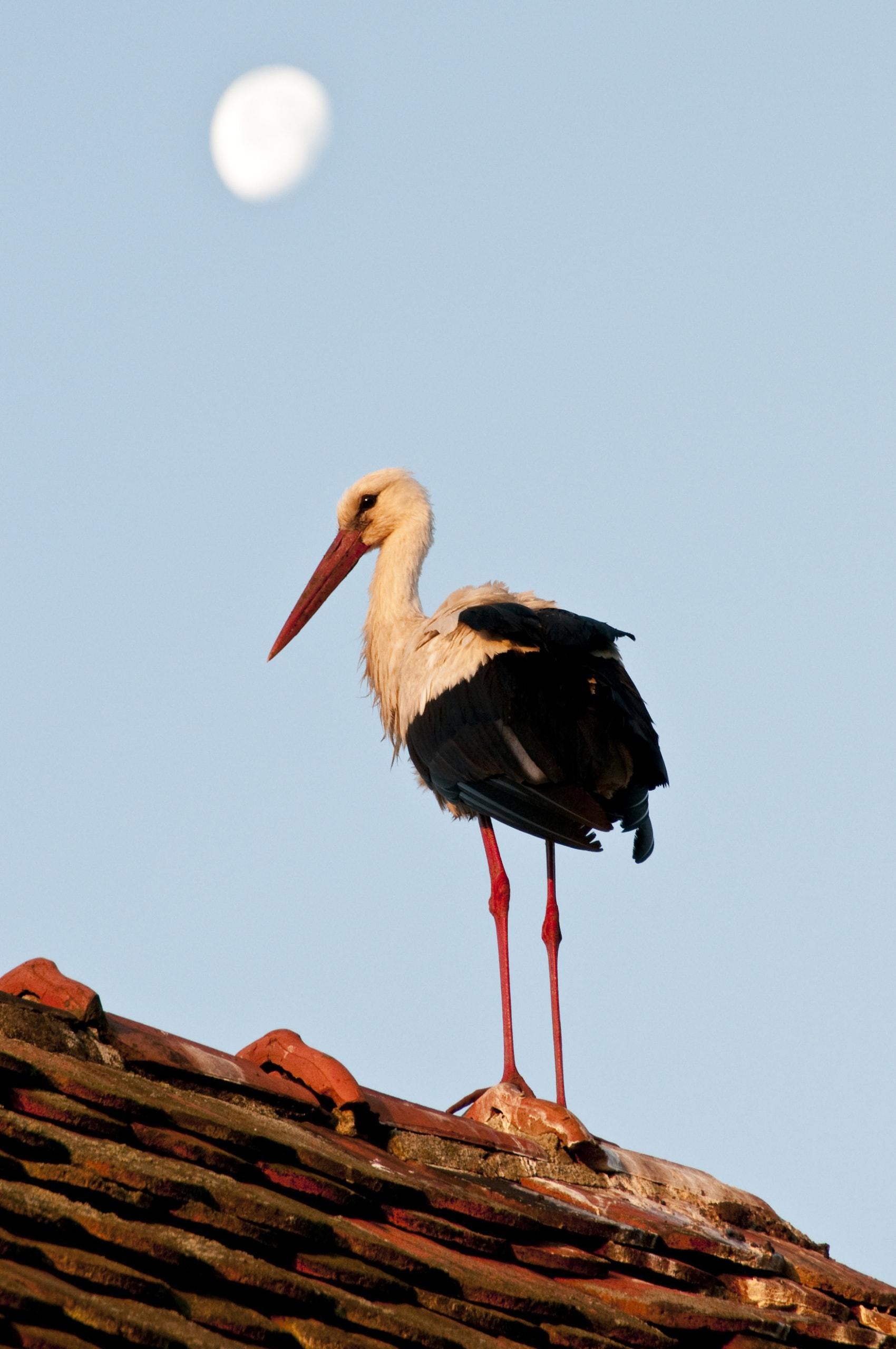 Ein junger Storch auf einem Hausdach im Storchendorf Rühstadt.