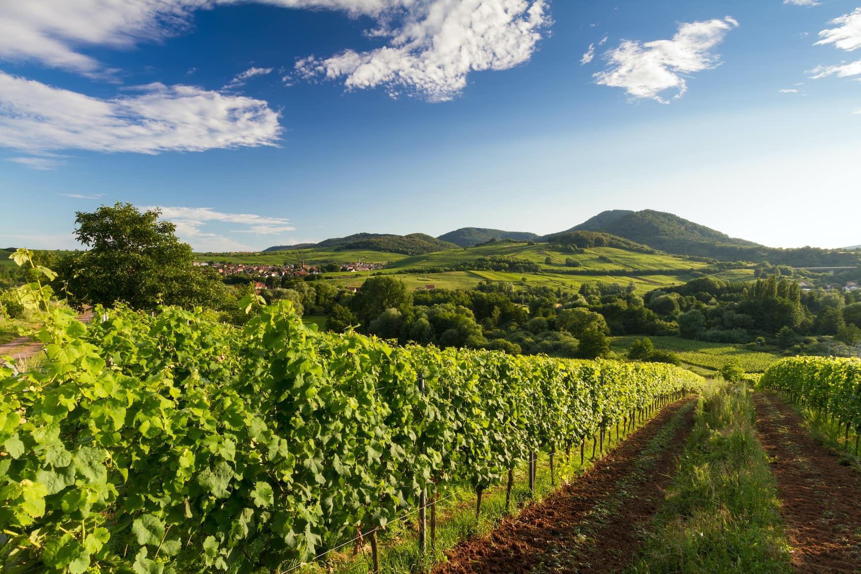 Weinreben in der Pfalz in Deutschland