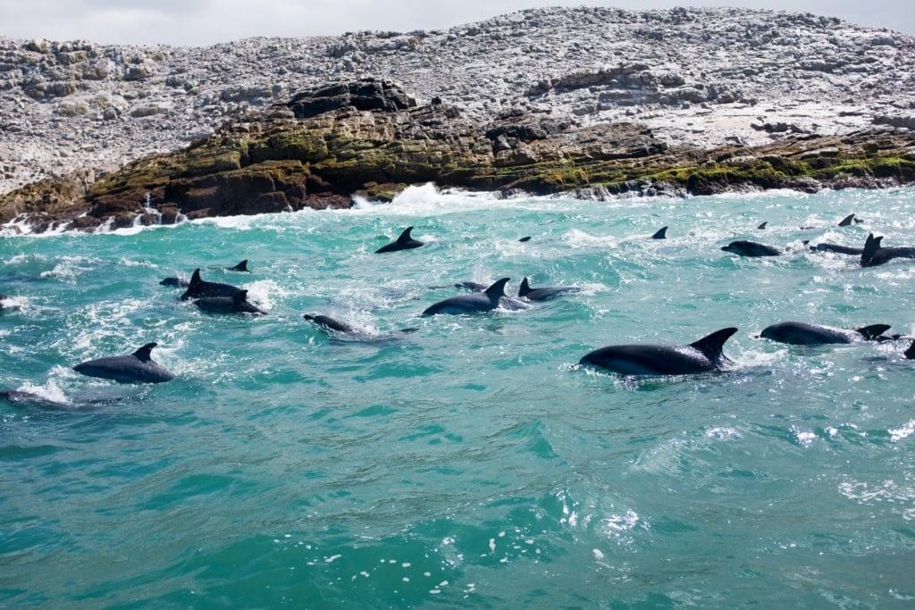 Delfine im Meer am Eastern Cape in Südafrika