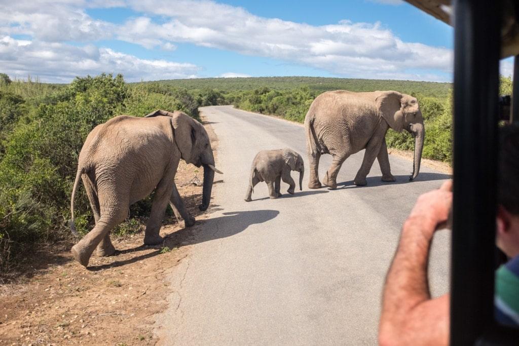 Elefantenfamilie auf der Straße im Addo Elephant National Park