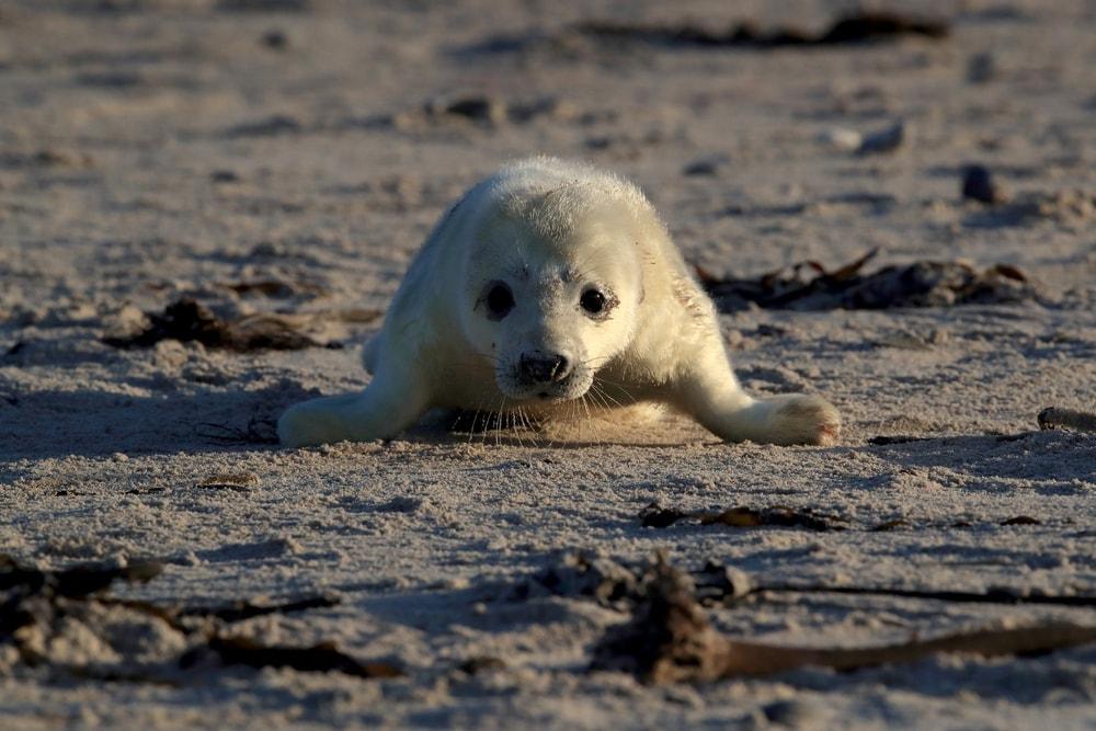 Kegelrobbe auf Sandbank
