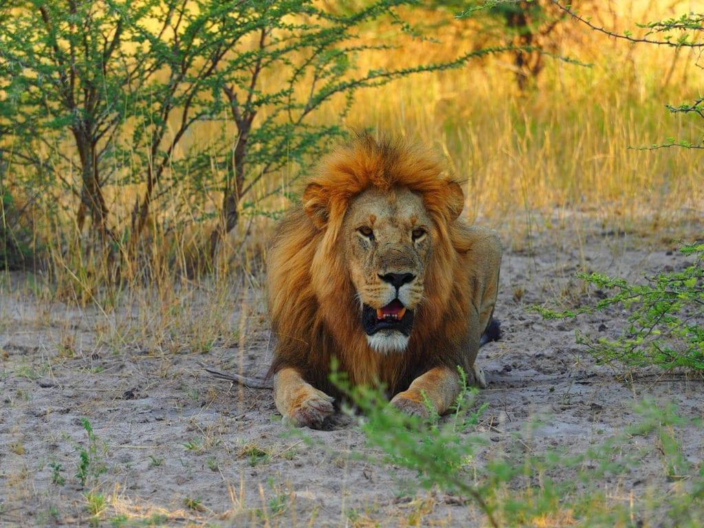 Löwe im Okavangodelta in Botswana