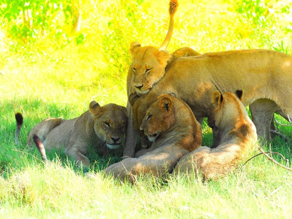 Spielende Löwen im Okavangodelta in Botswana