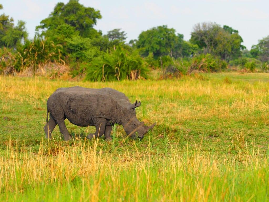 Nashorn im Okavangodelta in Botswana