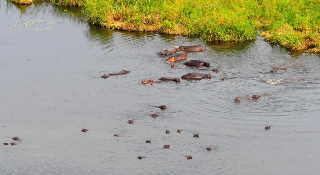 Nilpferde im Wasser im Spielende Löwen im Okavangodelta in Botswana